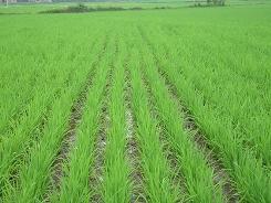 粮食种植基地一一监利凯盛粮食种植专业合作社